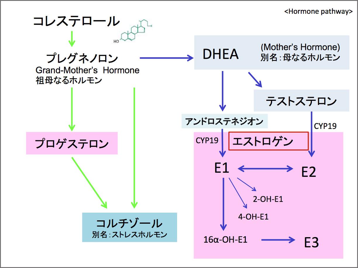 エストロゲンの仕組み